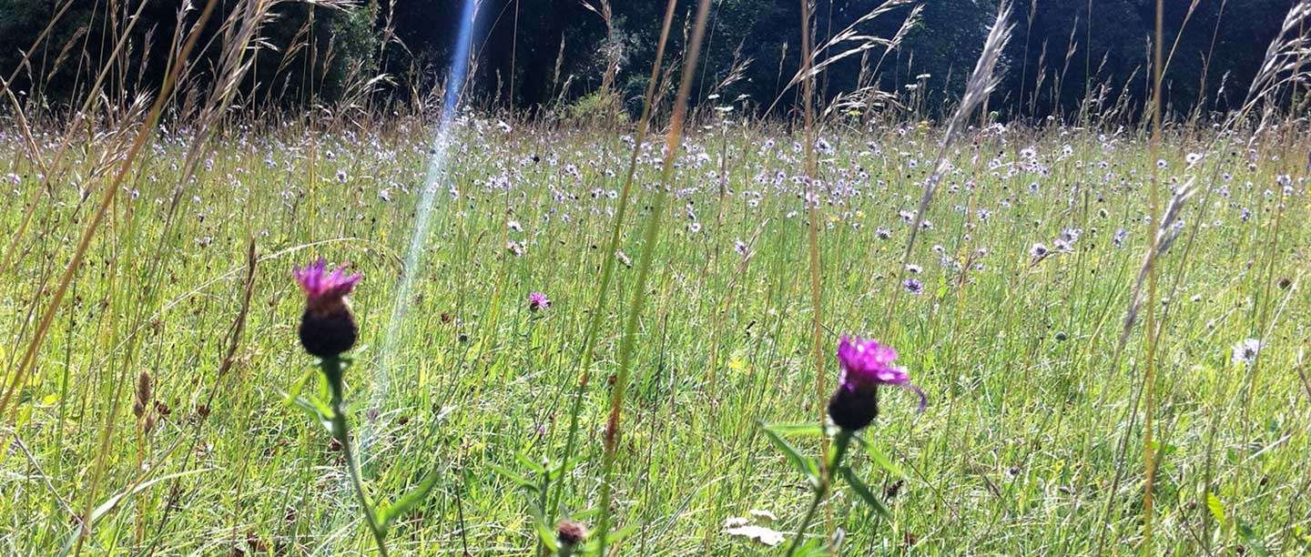 A meadow at Walmer Castle and Gardens, with purple and pink wildflowers in the foreground among tall grasses.