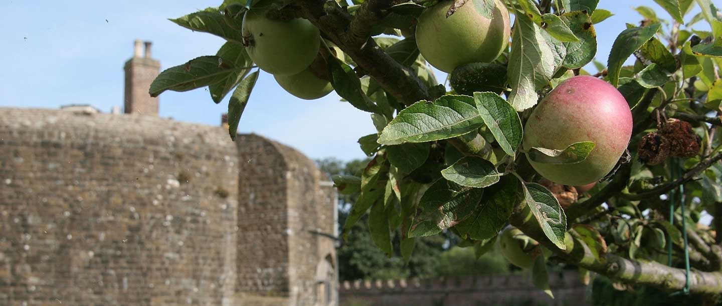 An apple tree with ripe fruit is visible in front of the bricks of Walmer Castle, Kent