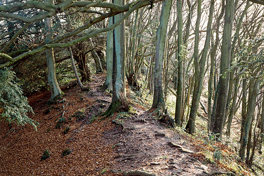 The great bank of the section of Offas dyke in English Heritage guardianship, where it runs through some dense woodland